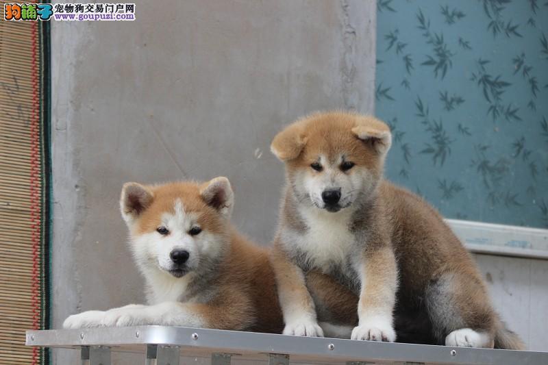 正规养殖,秋田,出售纯种日系秋田犬,带证书