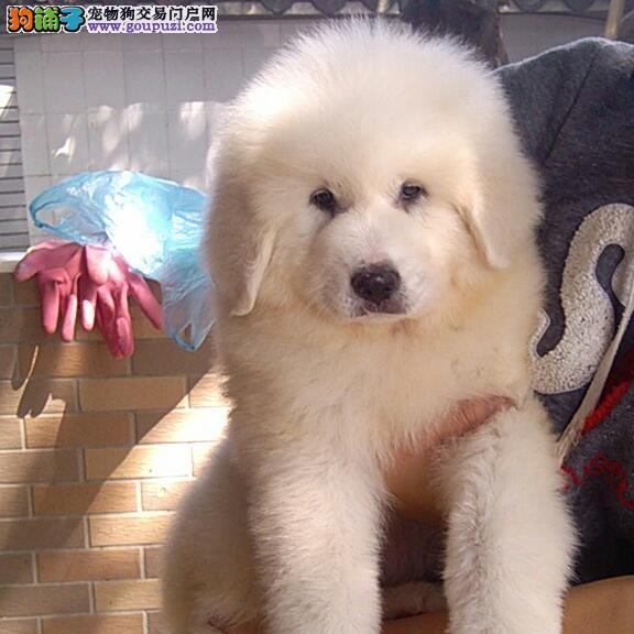 品质第一,毛量大,骨板粗,纯种,大白熊犬
