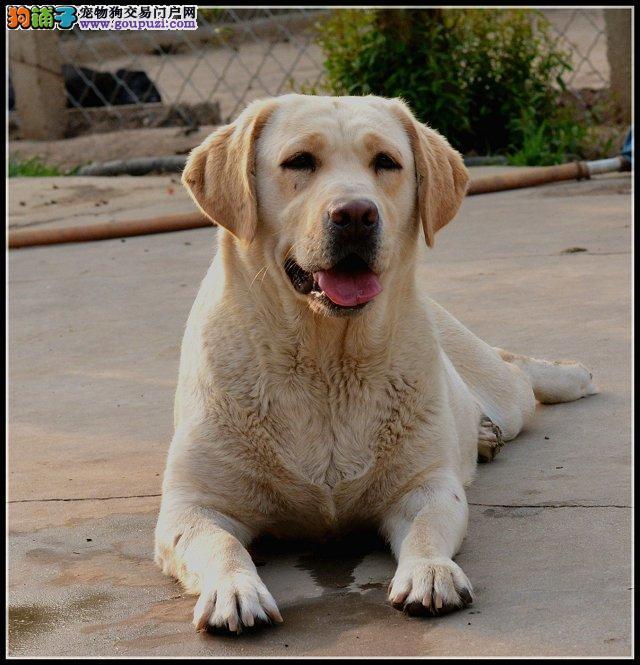 狗场直销一出售纯种狗狗一包养活一签合同一可视频