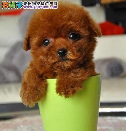 正规养殖地 茶杯犬 玩具,迷你体泰迪卡哇伊
