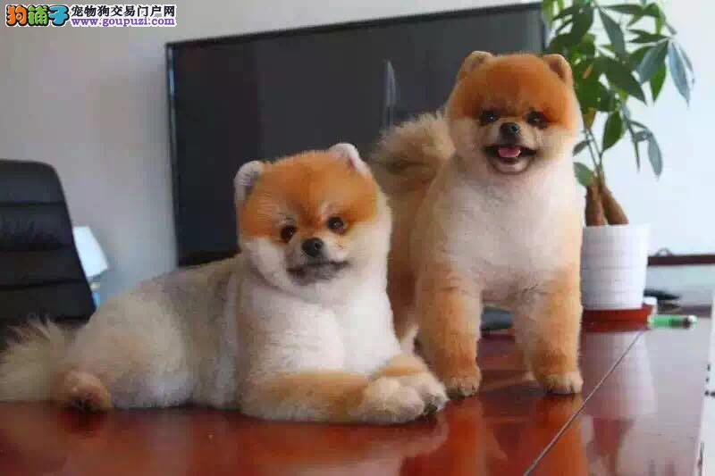 顶级球体博美犬幼犬出售哈多利博美犬正规犬舍保健康