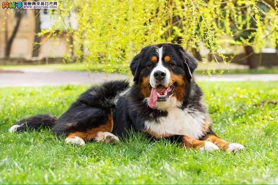 专业养殖基地,常年出售纯种高品质伯恩山幼犬