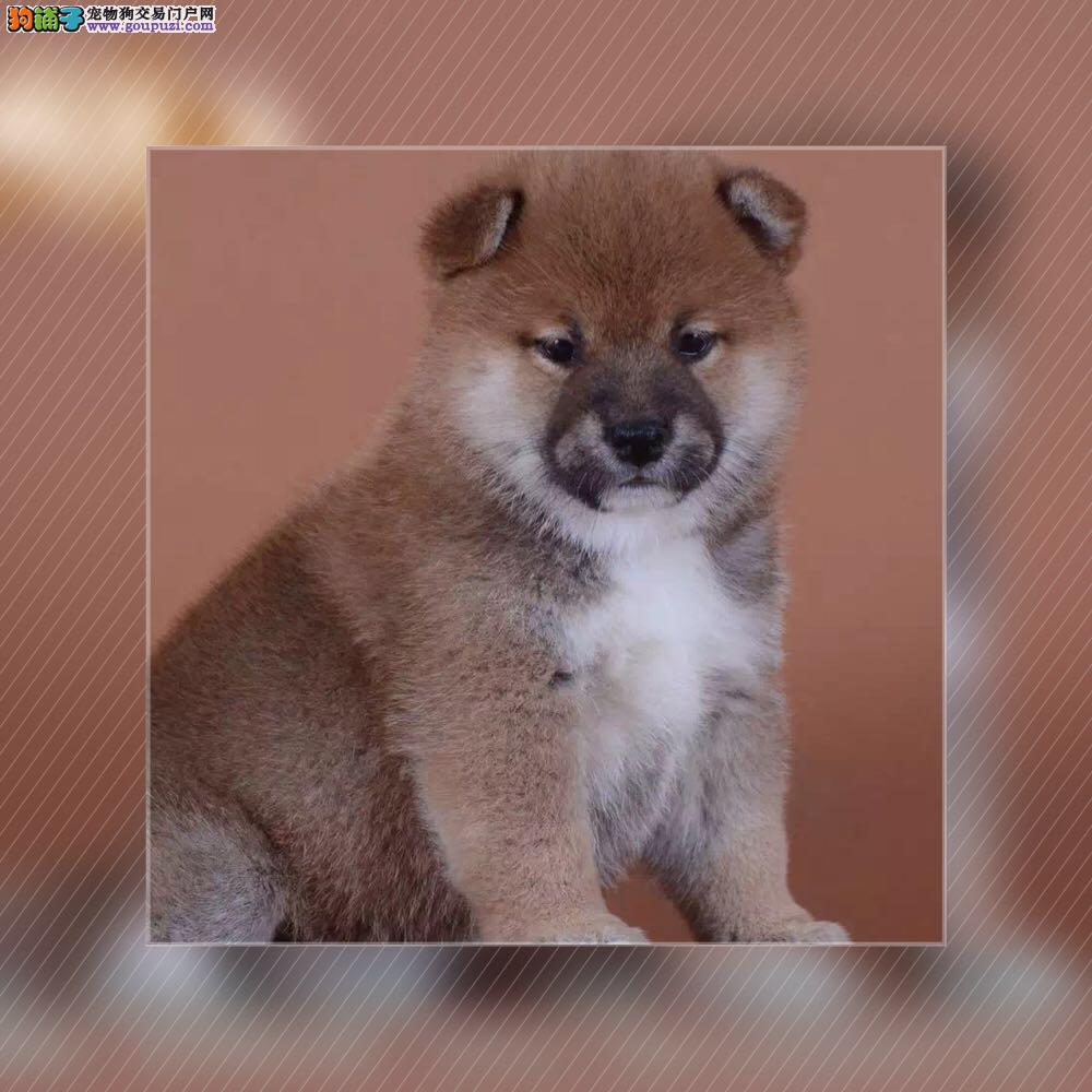 正规犬舍繁殖纯种柴犬,健康质保,三针做齐