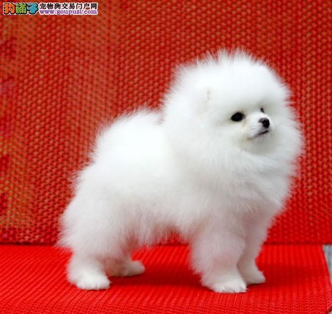 哈多利纯种博美幼犬正规犬舍繁殖,可签协议直接视频