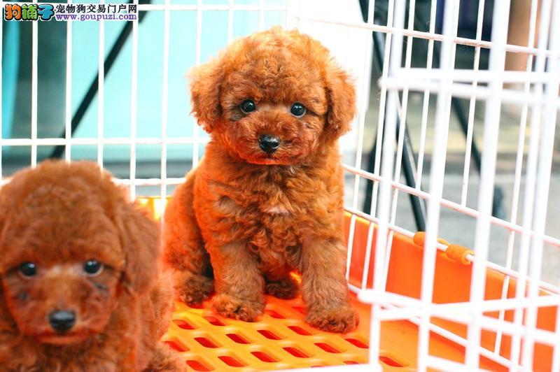 自家正规犬舍常年繁殖纯种泰迪,带健康证书可看大狗