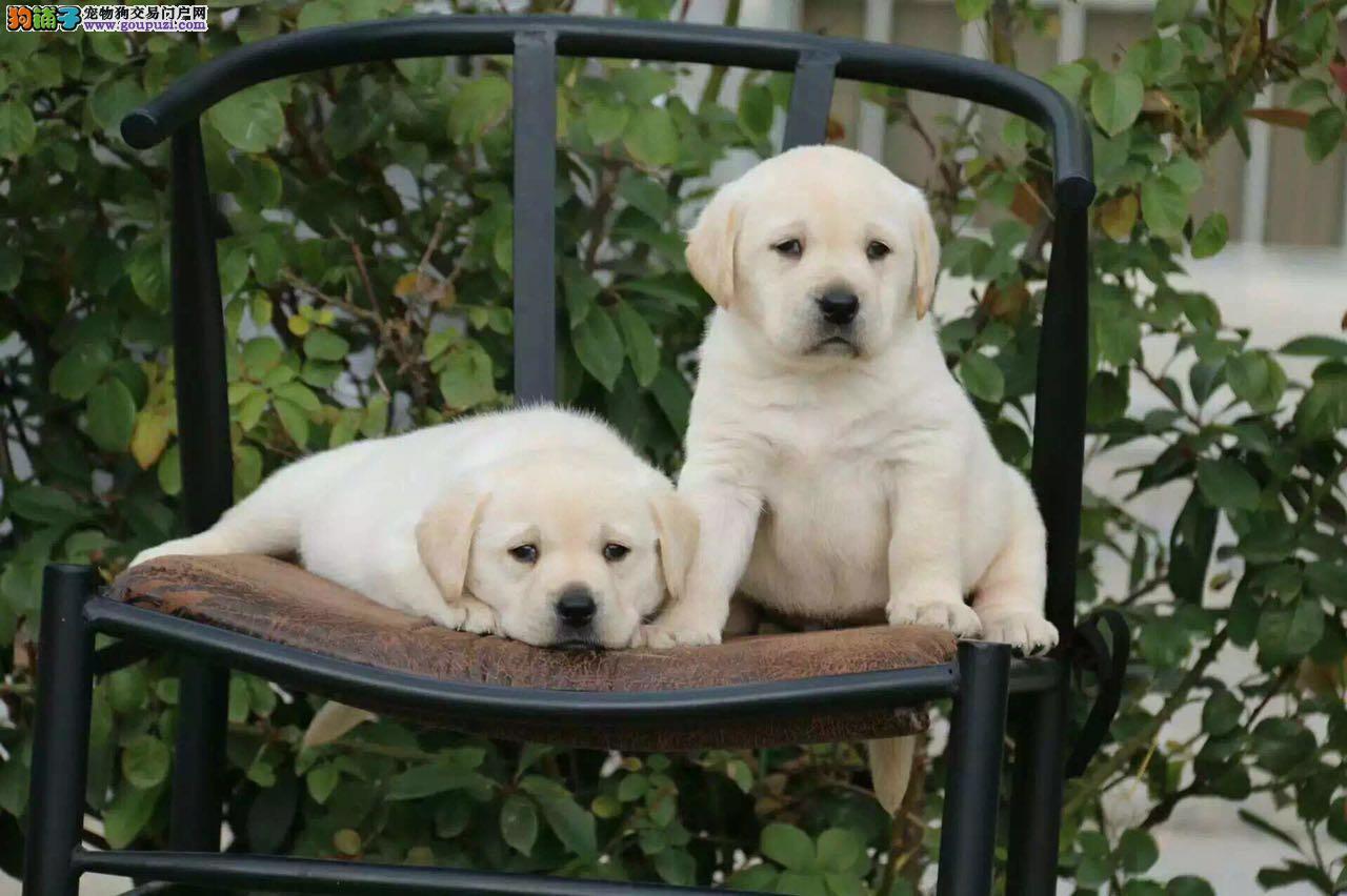 养殖基地出售精品双赛级血统的拉布拉多幼犬