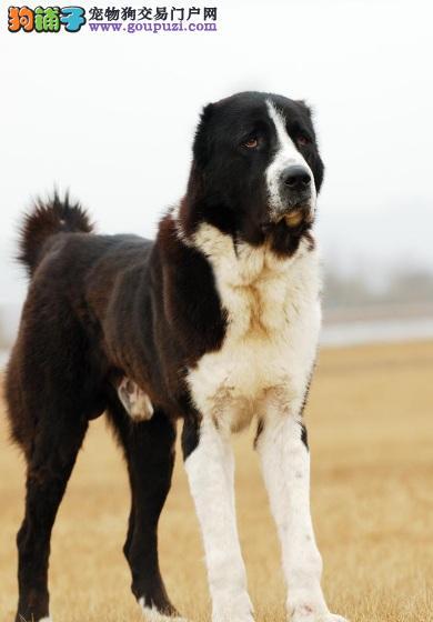 热销多只优秀的纯种中亚牧羊犬幼犬终身售后送货