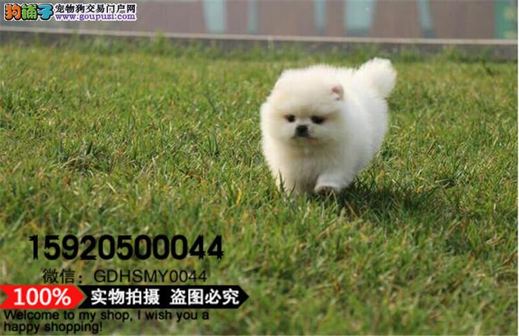 超小球体博美幼犬 广州狗场直销现货可挑选包售后