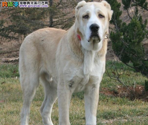 顶级优秀的纯种中亚牧羊犬热卖中专业品质一流