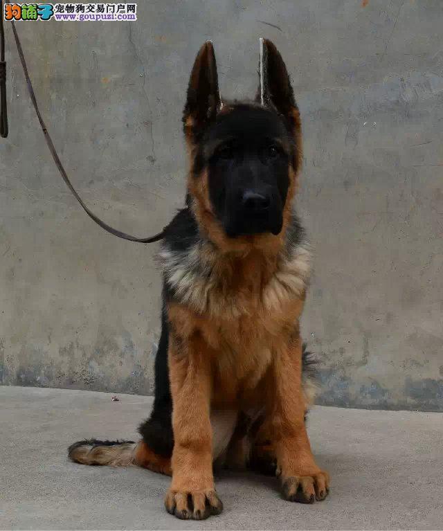 狼狗幼犬出售可以签协议,售后保障