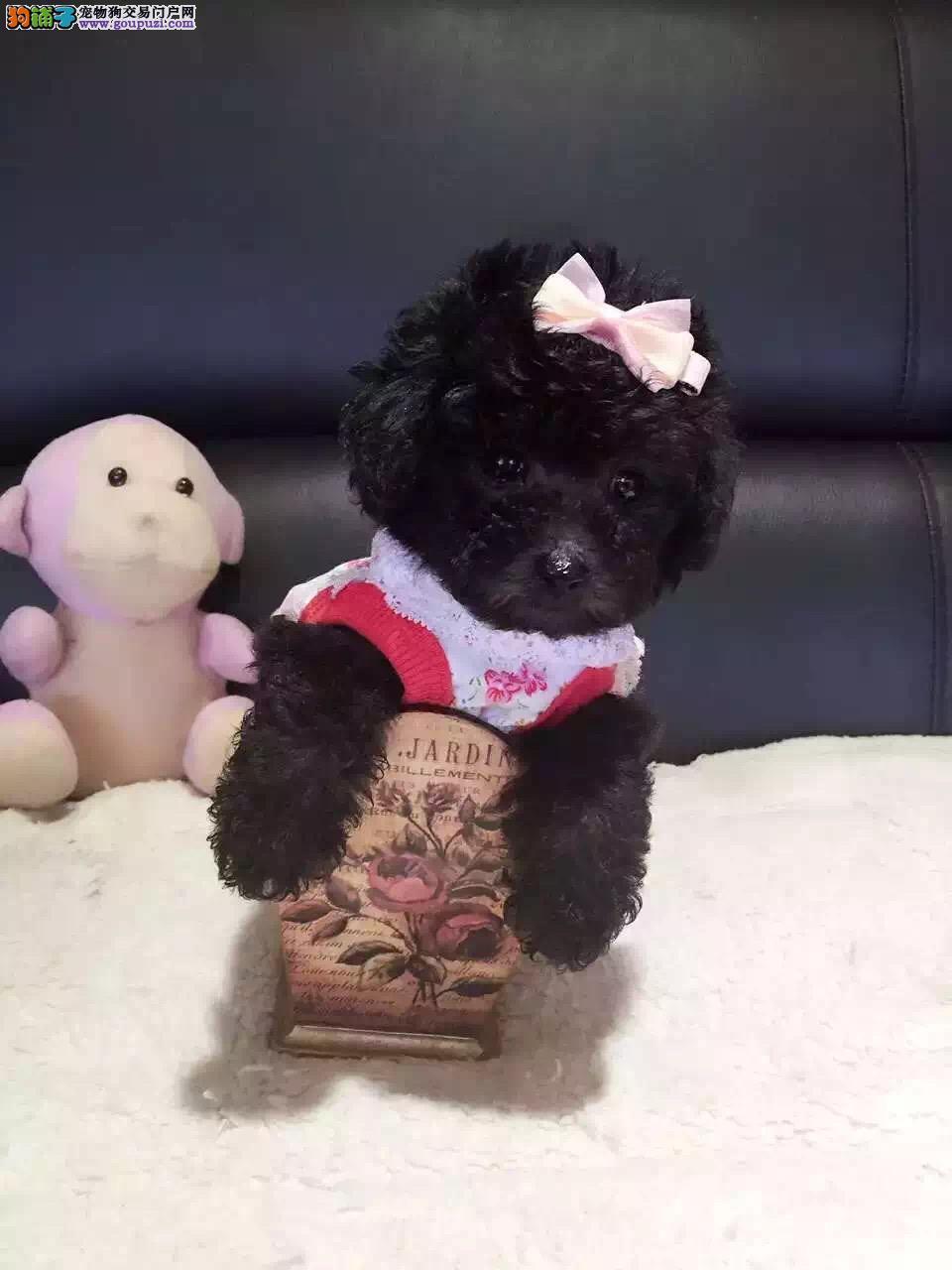 出售武汉茶杯犬专业缔造完美品质均有三证保障