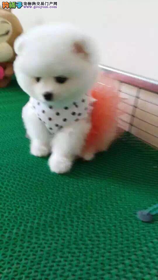 博美犬聪明的表情、好奇的天性是其成为新一代萌宠