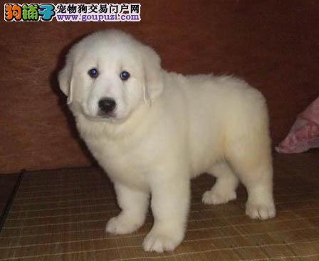 大白熊,纯种幼犬出售,签协议全国销售