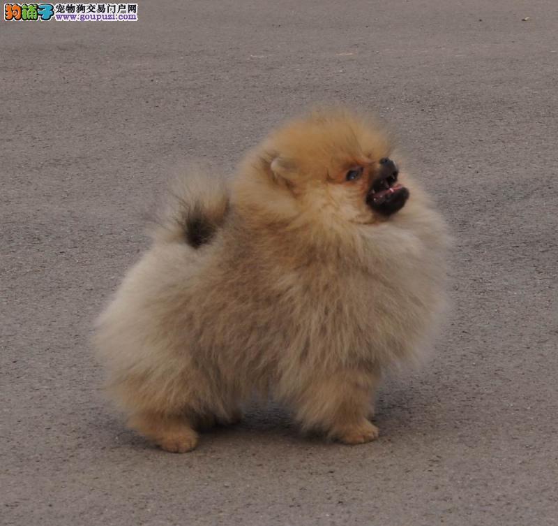 毛茸茸的小狗狗,超可爱的博美幼犬
