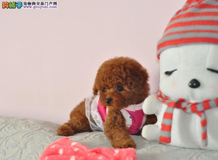 高雅可爱到疯狂,泰迪幼犬,淘气的狗狗