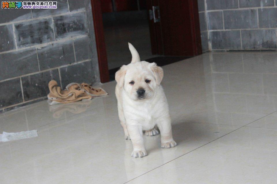 勇敢活泼的犬种,拉布拉多幼犬