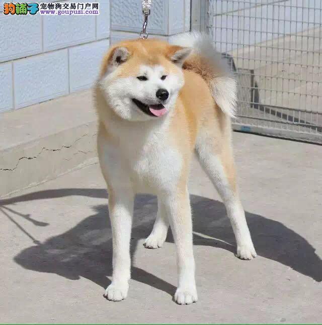 秋田幼犬,自家繁育,保纯种保健康!