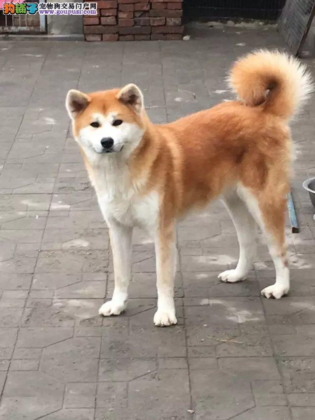 纯日系秋田,正规繁殖基地,出售幼崽,可视频看狗