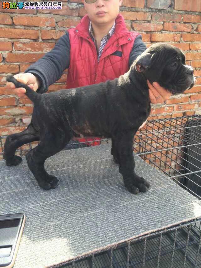 卡斯罗犬最大的正规犬舍完美售后可直接微信视频挑选