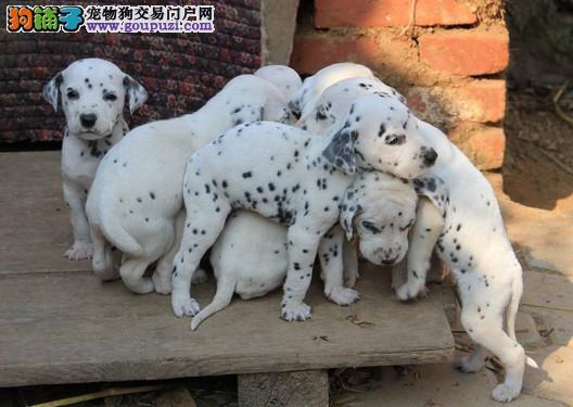 广州在什么地方有斑点狗 广州买斑点狗一般价格多少