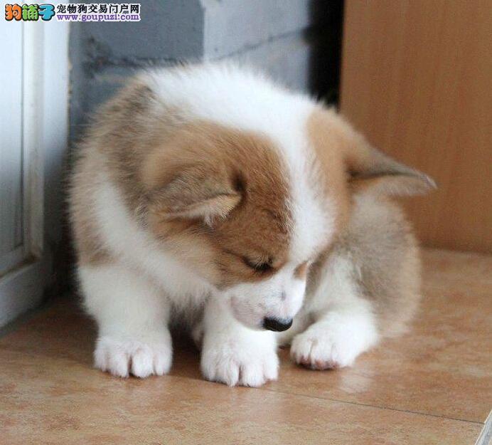 广州哪里有两色三色柯基犬卖 广州新华狗场保障出售
