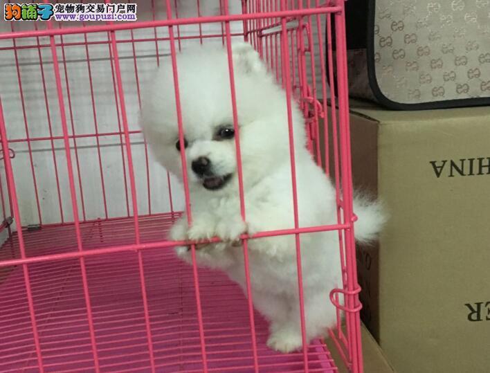 广州白云区哪里有博美犬卖 广州小博美价格多少钱