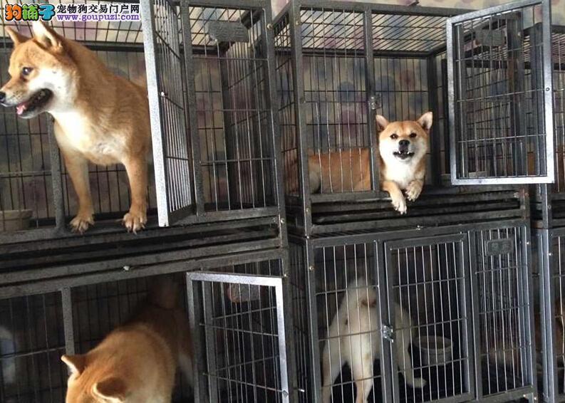 广州哪里有柴犬交易的地方 新华狗场出售纯种柴犬