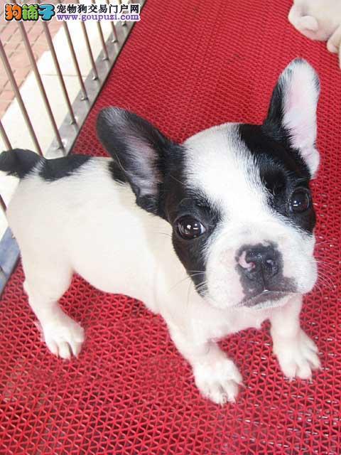广州买狗比较好的地方 在广州哪里有卖法牛法斗