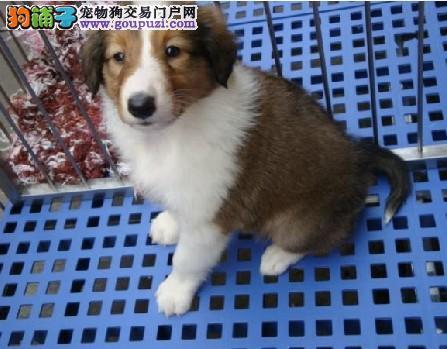 广州市宠物狗交易的地方 广州哪里有苏牧小狗买