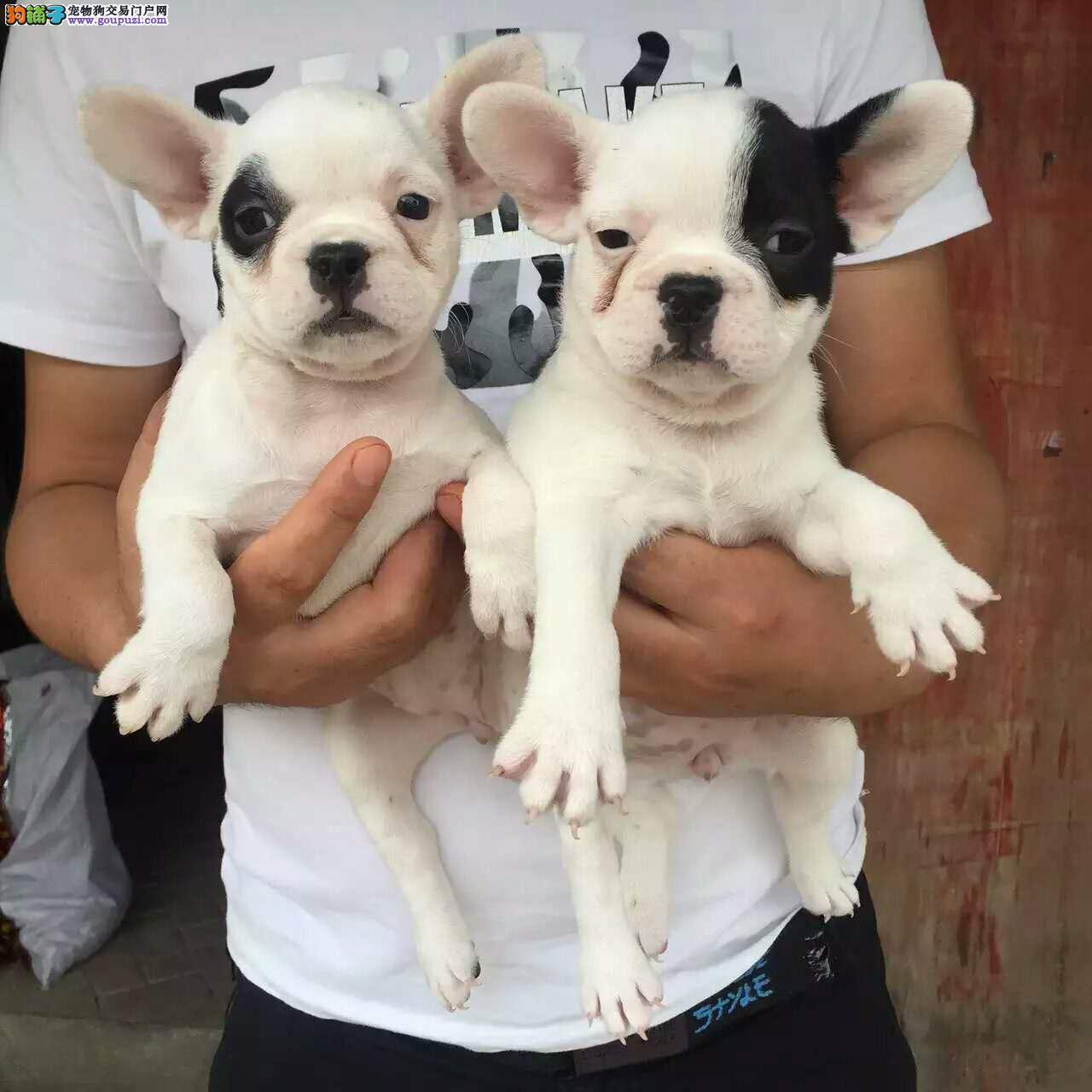 CKU犬舍出售法国斗牛犬 支持淘宝交易