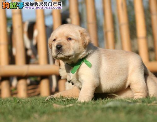 精品纯种拉不拉多幼犬正规犬舍繁殖实物拍摄带健康证书