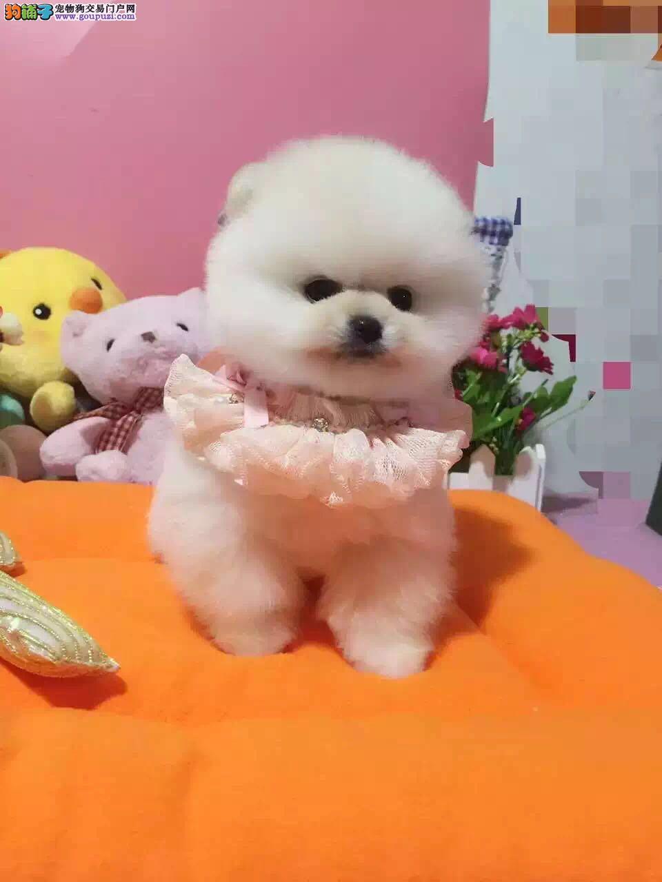 正规犬舍,实体拍摄 纯种哈多利博美幼犬,有证书
