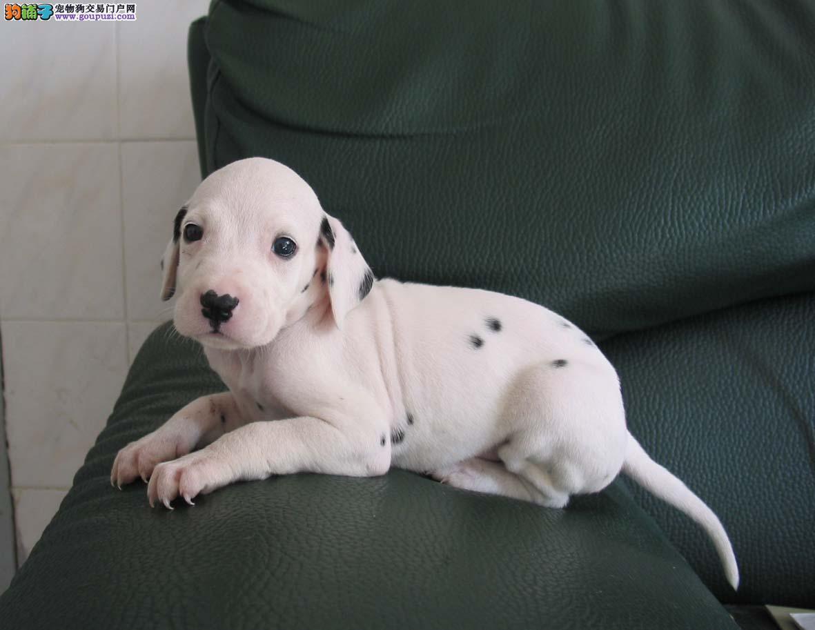 出售纯种 斑点犬 自家繁育,可看大狗