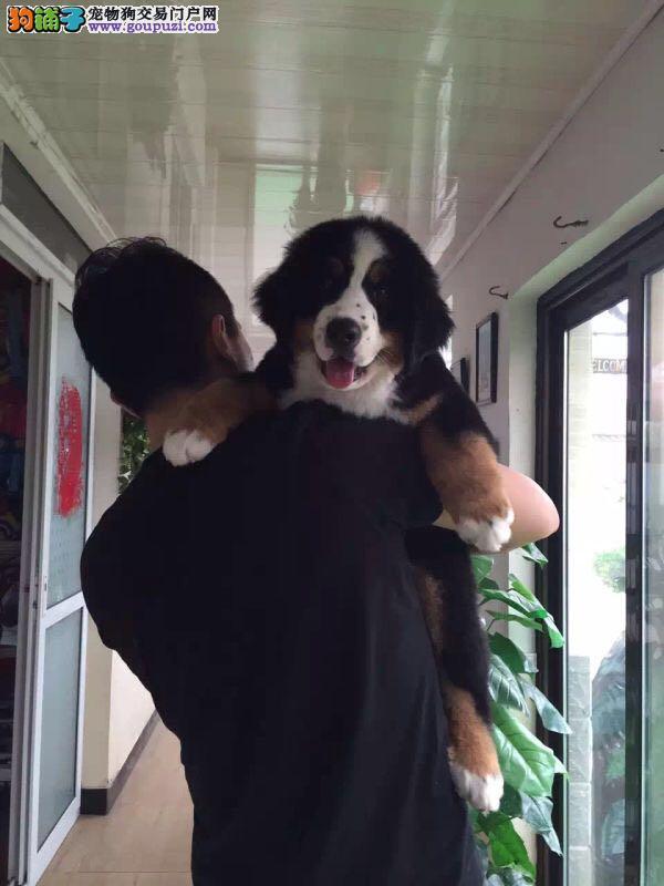 冠军后代,血纯,赛级精品伯恩山幼犬出售