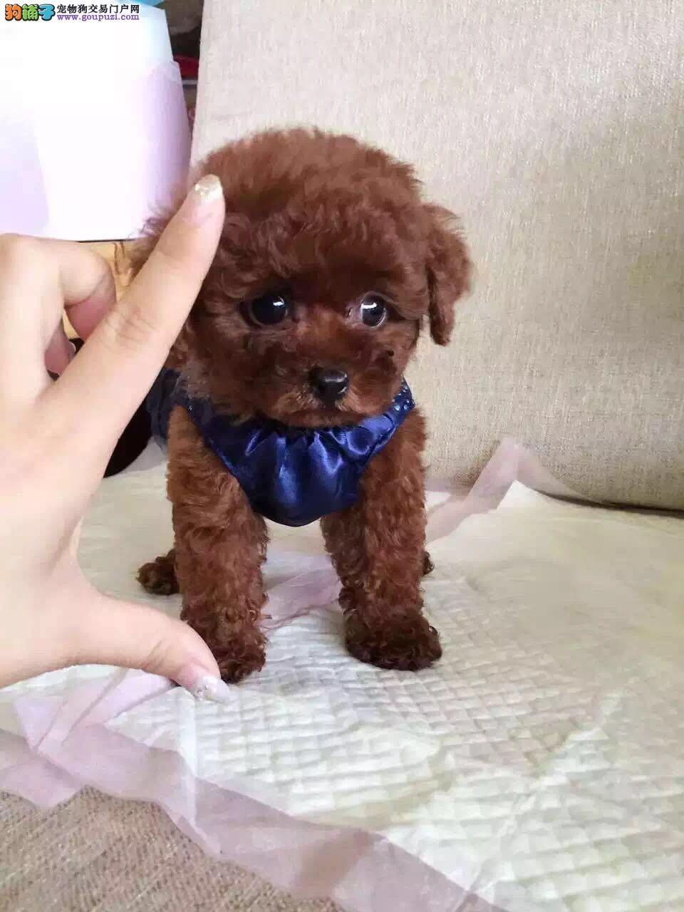 出售纯种健康专业狗场繁殖 签协议 可送货上门一泰迪