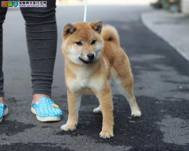 成都哪里有卖柴幼犬 成都柴犬多少钱一只?