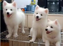 正宗日本尖嘴银狐犬幼仔可出售了