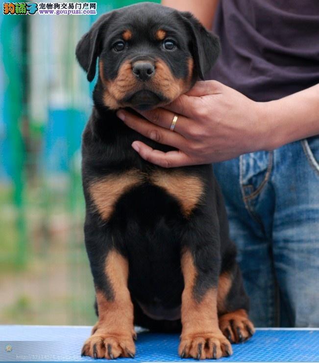 深圳哪里买罗威纳犬罗威纳犬图片 价格