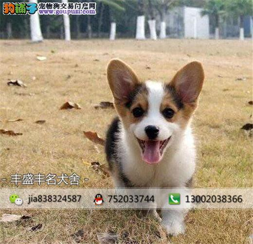 威尔士柯基犬 两色三色柯基 英国女王犬 高端宠物狗