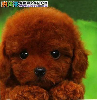 抚顺六百起售各种颜色小体丨泰迪熊丨比熊丨雪纳瑞