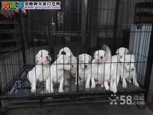 血统杜高犬哪里有卖的多少钱一条