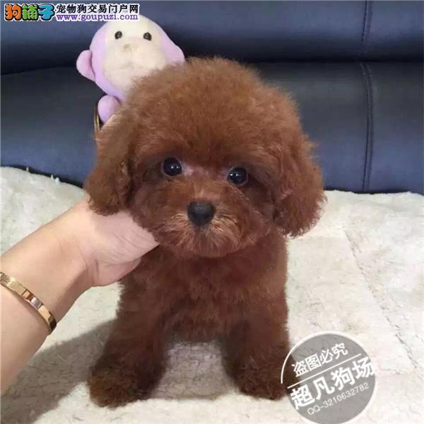 广州哪里能买到纯种健康的贵宾泰迪狗狗超凡狗场