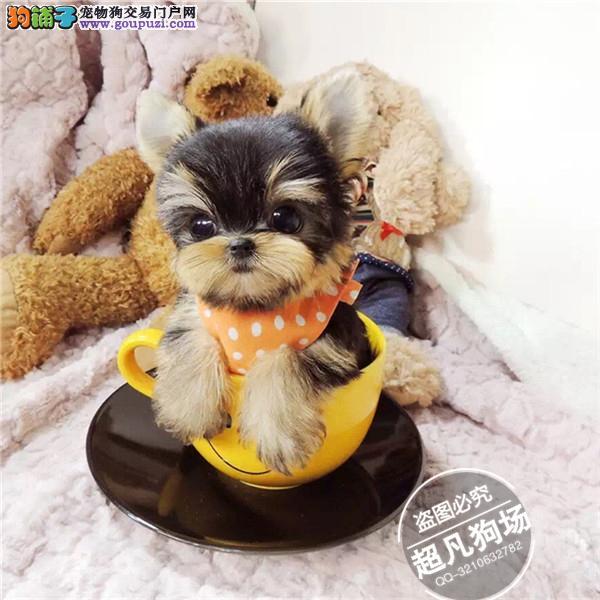 超小体韩版约克夏梗 小体约克夏幼犬待售多只
