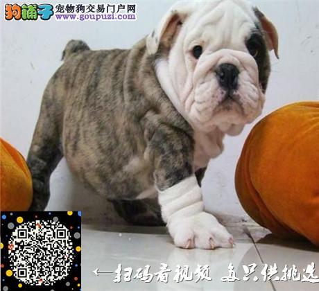 深圳哪里有斗牛犬卖/买,斗牛犬多少钱,斗牛犬好养吗