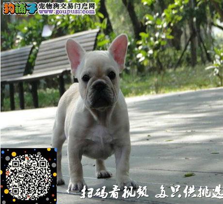 广东哪里有法国斗牛犬卖/买,法国斗牛犬多少钱