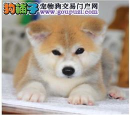 深圳哪里有秋田犬卖/买,秋田犬多少钱,秋田犬好养吗