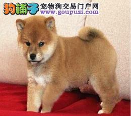 深圳哪里有柴犬卖/买,柴犬好养吗,柴犬多少钱