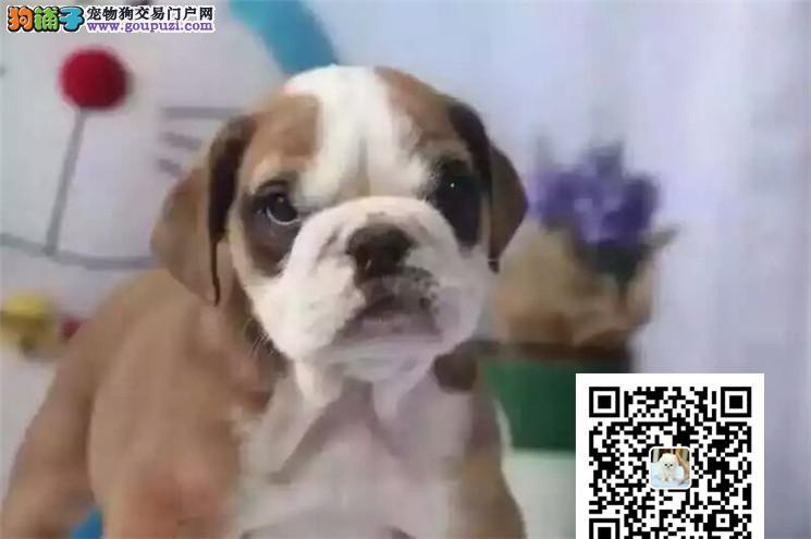 犬舍直销英斗宝宝健康活泼纯种疫苗已做当天下单包邮
