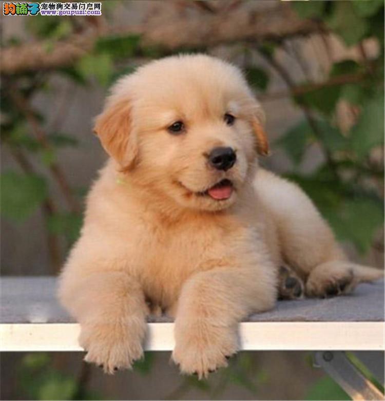 名犬基地金毛宝宝 会上厕所已驯养 爱宝品质值得信奈