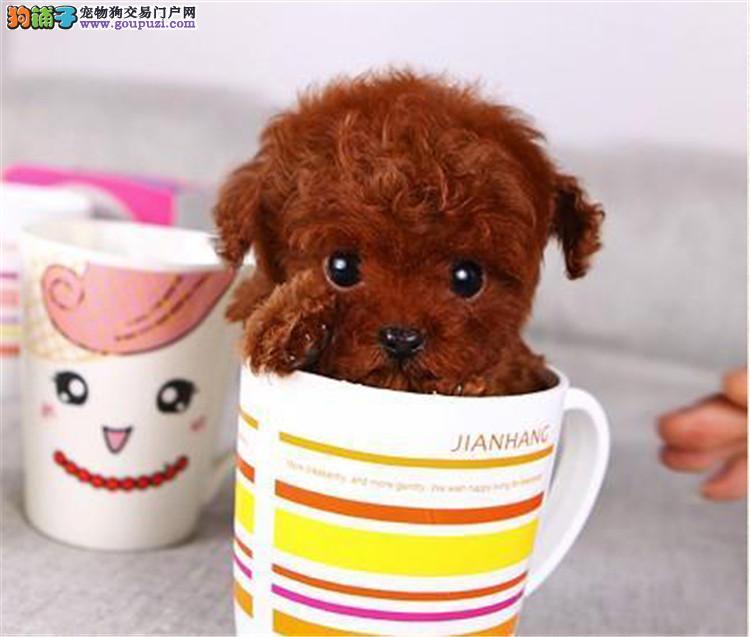 茶杯犬 贵宾泰迪熊 会上厕所已驯养 包纯种健康签协议